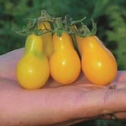Tomato Yellow Pear - 10 grams